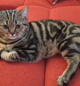 Прямоухий кот на вязку