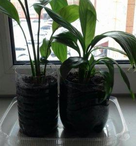 Комнатные растения. Спатифиллум (Женское счастье)