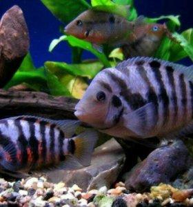 Цихлазомачернополосая, цихлазома-зебра. Рыбки.