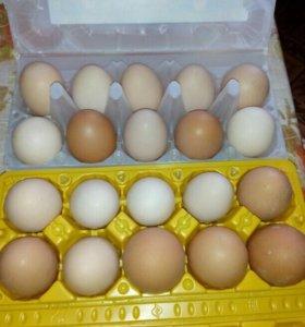 Яички домашних кур