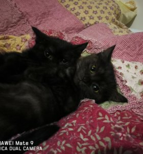 2 кошечки породистые от Британского кота