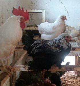 цыплята породистых кур