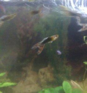 Рыбки гуппи-красивые!