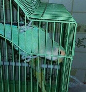 Продаются попугайчики Кеша и Ксюша . Клетка в пода