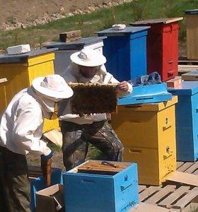 Пчелы и пчелосемьи