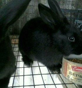 Кролики чернобурой породы