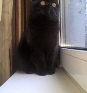 Кот шотландец для вязки !!!