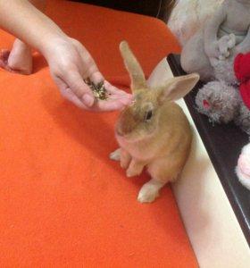 Декоративный кролик девочка