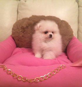 Померанского шпица щенок