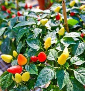 Декоративные перцы Чили семена 10 шт