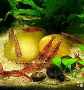 Креветки пресноводные для аквариума