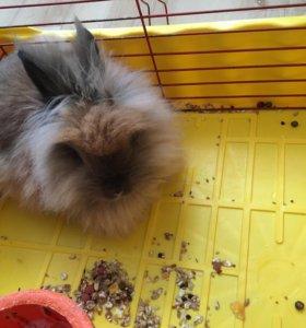 Кролик декоративный Ангорский