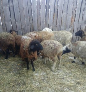 Продам овец курдючных