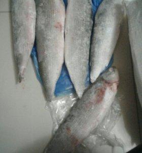 Продам  свежую колымскую рыбу (шокур)