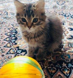 Котёнок, помесь перса.