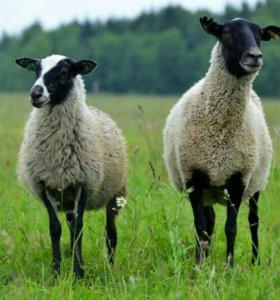 2 овцы ,Романовской породы