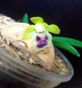 Продам миниатюрную Орхидею Хараэллу