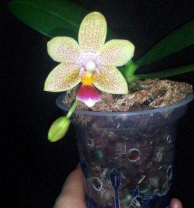 ПРодам ароматную Орхидею мини-фаленопсис. Цветёт