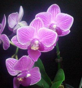 Продам Орхидею мини-фаленопсис. Цветёт