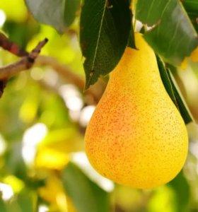 Вкусные сорта груш и яблонь (черенки)