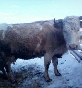 Коровы дойные