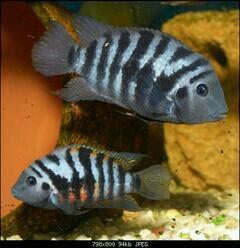Рыбы цихлозамы чернополосые