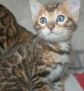 Бенгальский мачо