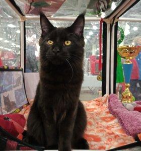 Котик черный Маркиз из питомника от Чемпионов