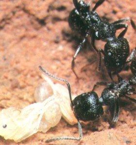 Колония мурашек(messor aciculatus)для новичков