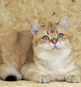 Золотой британский кот Орфей