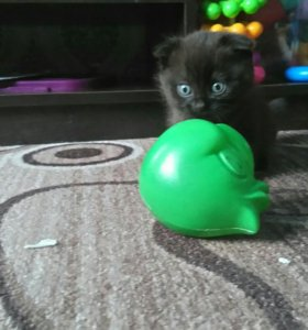 Продам шотландского вислоухого котенка