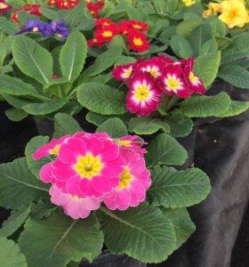 Примула(Цветы)