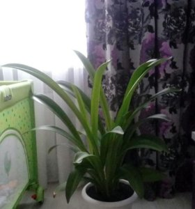 Амариллис цветок в горшке