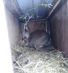 Продам 2 крольчихи