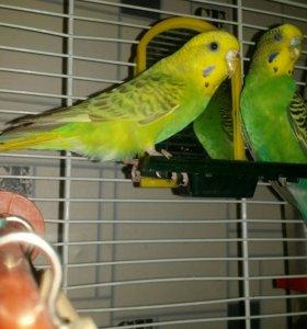 Продаются волнистые попугайчики.