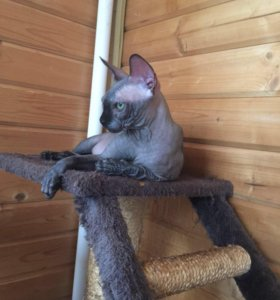 Канадский Сфинкс кот чёрный 2,5 года