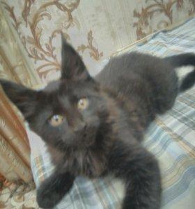 Котенок мальчик породы Мейн-кун.