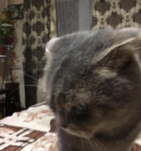 Шотланская вислоухая кошка на вязку