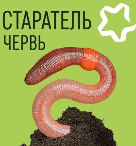 Маточная поголовье червя Старатель
