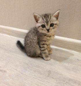 шотландский котенок, родился 1 декабря