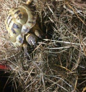 Продам сухопутную черепаху.