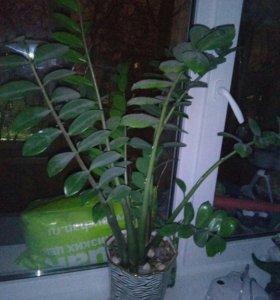 Замиокулькас ( долларовое, денежное дерево)