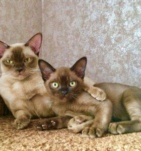 Бурманские котики