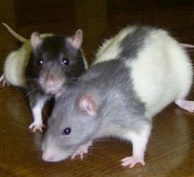 Крыса девочка