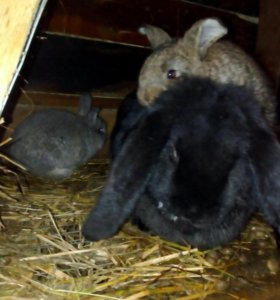 2 мес кролики, цена за шт.