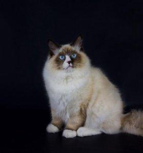 Котёнок Невский маскарадный