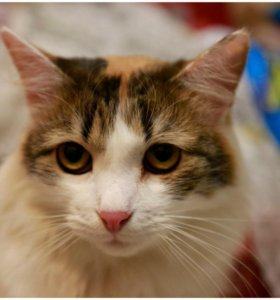 Кошка-белка Милаша ищет дом