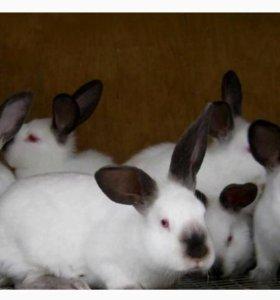 кролик калифорнийсой породы.