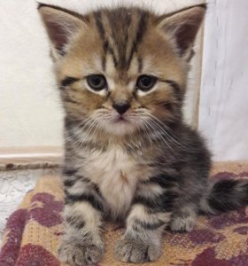 Шотдандские котята