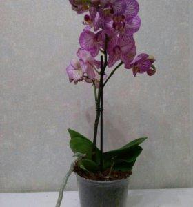 Цветы фаленопсис архидея